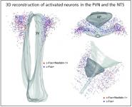 Modèle de l'organisation et du fonctionnement de la glie dans le complexe vagal dorsal montrant la diversité de ces cellules dans cette structure (d'après Dallaporta et al, Brain Research, 2010)
